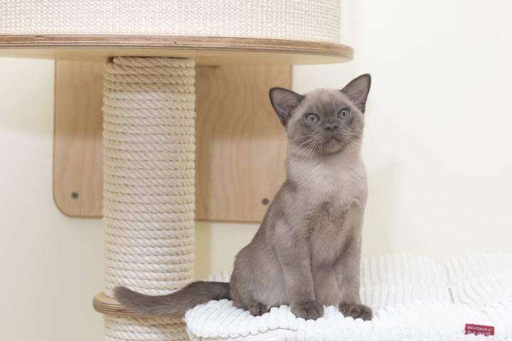chocolate burmese kitten available as pet