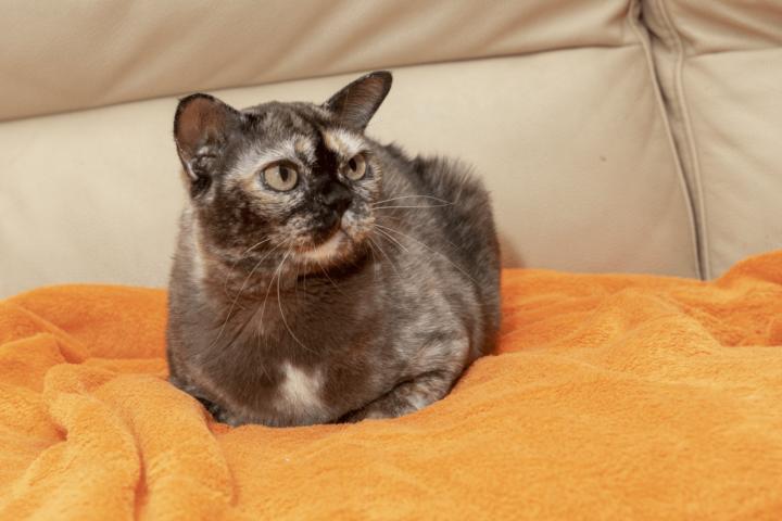Alba Regia MiciCank brown tortie burmese cat female