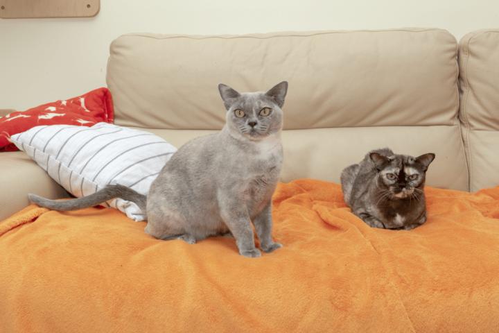 Alba Regia Pokemaona, blue tortie burmese cat and Alba Regia MiciCank brown tortie burmese cat female